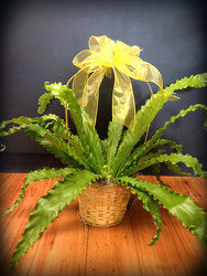 Birdnest Fern from Faught's Flowers & Gifts, florist in Jonesboro