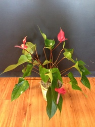 Anthurium plant from Faught's Flowers & Gifts, florist in Jonesboro