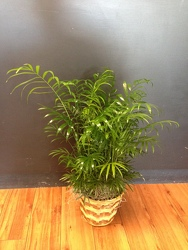 Palm Plant from Faught's Flowers & Gifts, florist in Jonesboro