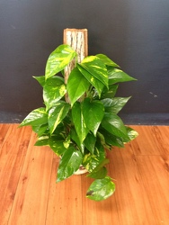 Pothos Plant from Faught's Flowers & Gifts, florist in Jonesboro