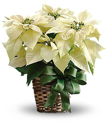White Poinsettia from Faught's Flowers & Gifts, florist in Jonesboro